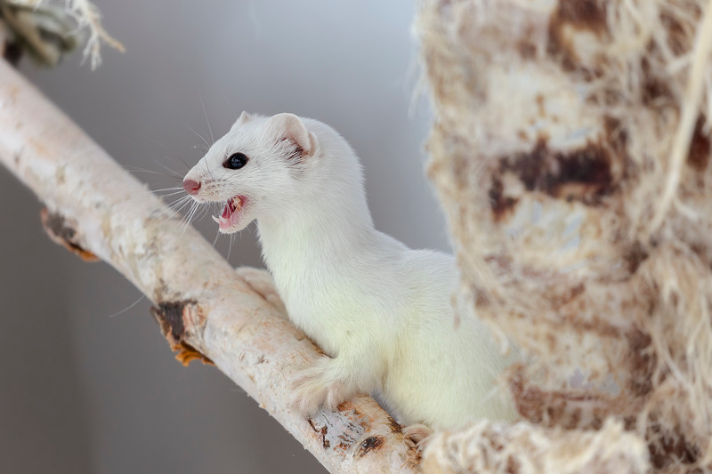 Short tailed weasels turn white in the winter to help camouflage them from predators. Sometimes called Ermine this one had made it's winter home under a deer carcass in northern Minnesota. Occasionally it would pop up to grab some scraps of frozen meat off the bones.