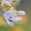 Agapanthus 'Twister' ('AMBIC001')