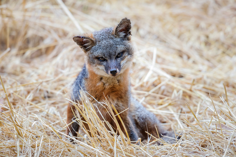 A foxy stare from an Island Fox