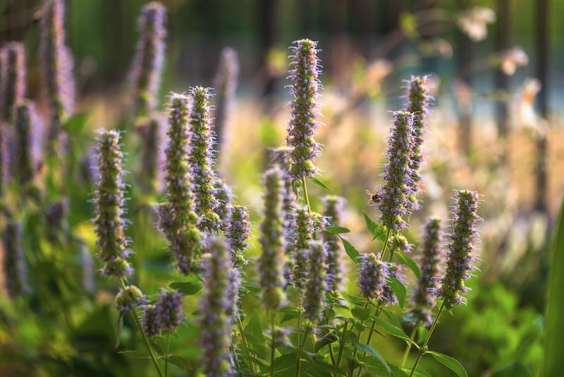 Agastache 'Blue Fortune' & Apis mellifera