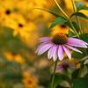 Echinacea purpurea 'Little Magnus' & Rudbeckia fulgida var. sullivantii 'Goldsturm'