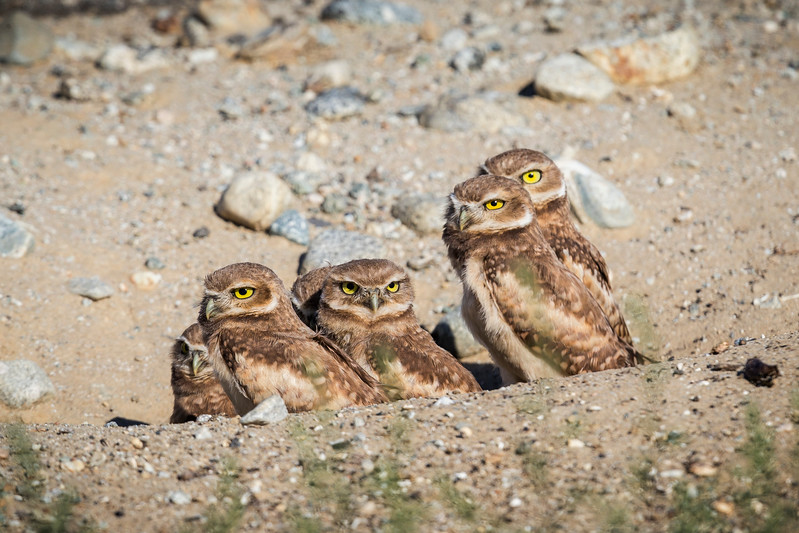 Six of Nine young burrowing Owls in their nest