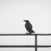 Raven on a Wet Railing