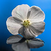 Phlox paniculata 'David'