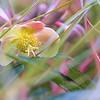 Helleborus lividus 'Pink Marble', Carex testacea