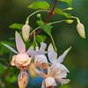 Fuchsia 'Annabel'