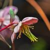 Helleborus lividus 'Pink Marble'
