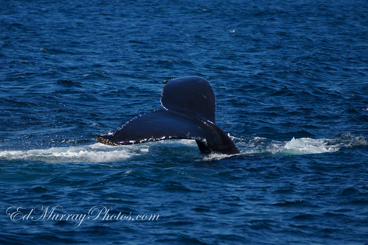A Tail of a Whale: Happy Tuesday everyone! I took a a whale watch from Cape Cod over the weekend - I'll be posting some shots from it this week. I hope you like them