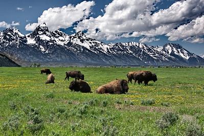 Bison, Grand Teton-Yellowstone Natl Park, Wyoming