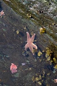 Coachman's Cove, Newfoundland, Starfish