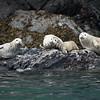 Alaska, Resurrection Bay, Seal