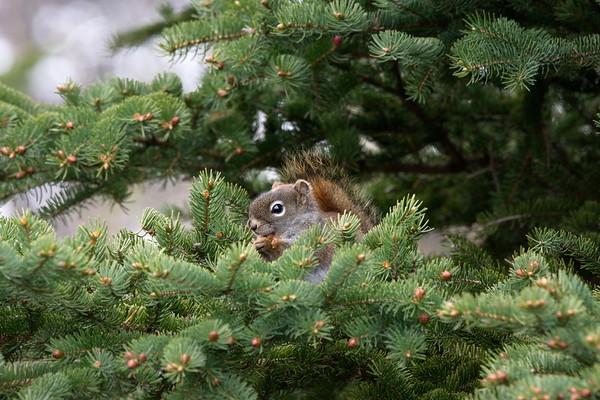 Humber Valley Resort, Newfoundland, Squirrel