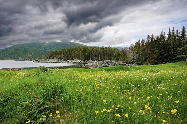 Buttercup, Coachman's Cove, Flowers, Newfoundland