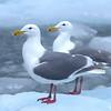 Alaska, Glaucous Gull, Meares Glacier, Prince William Sound, Unakwik Inlet, Valdez