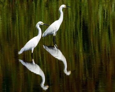 Florida, Lower Suwannee National Wildlife Refuge, Snowy Egret