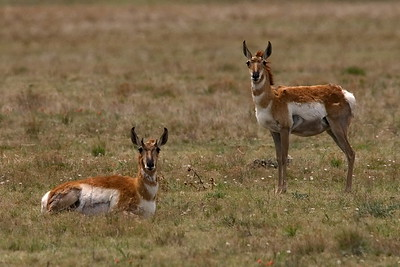 New Mexico, Pronghorn