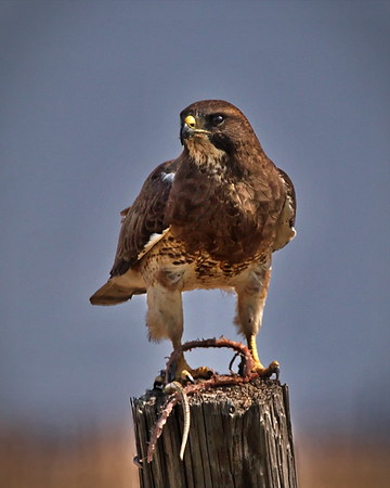 Dark morph Swainson's Hawk, New Mexico