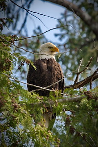 Bald Eagle, Olympic National Forest, Seal Rock Road, Washington