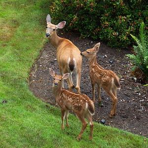 Black-tailed Deer, Port Ludlow, Washington