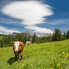 The Cow and the Cloud, Seiser Alm in South Tyrol, Italy