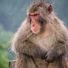 Macaque Portrait, Kyoto, Japan