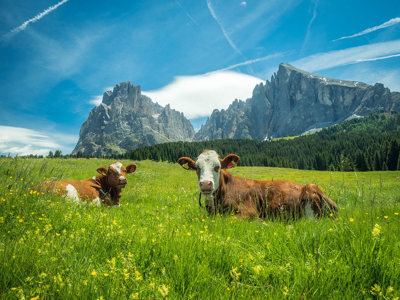 The Calves in the Meadow, Seiser Alm in South Tyrol, Italy