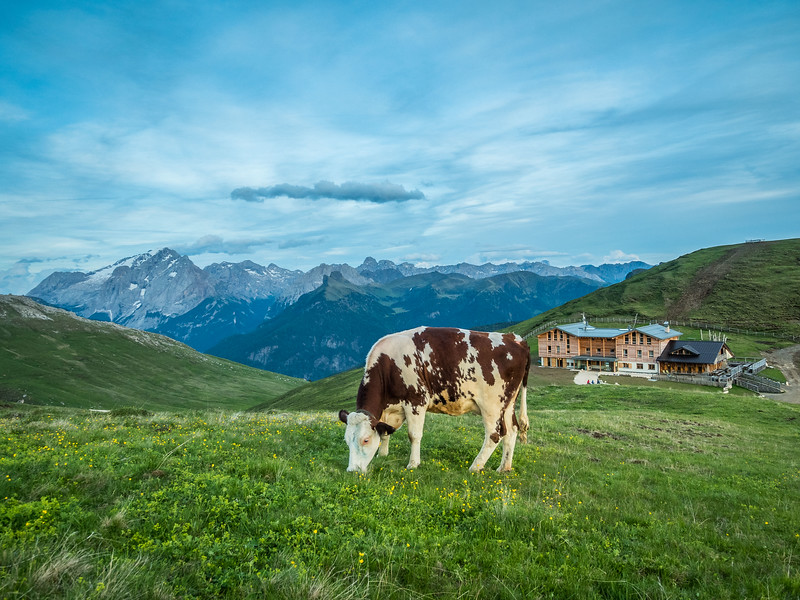 Evening Cow and the Plattkofelhütte, South Tyrol, Italy
