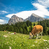 Cows and the Langkofel, Seiser Alm in South Tyrol, Italy