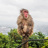 Macaque and the City, Kyoto, Japan