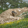 Marmot and His Den, South Tyrol, Italy