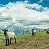 Sheep and the Marmolada, South Tyrol, Italy