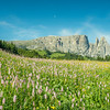 Wildflowers on Seiser Alm, South Tyrol, Italy