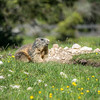 Das Murmeltier auf der Wiesn, South Tyrol, Italy