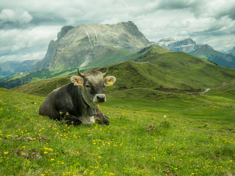 Relaxed Cow in the Mountain Pastures, South Tyrol, Italy