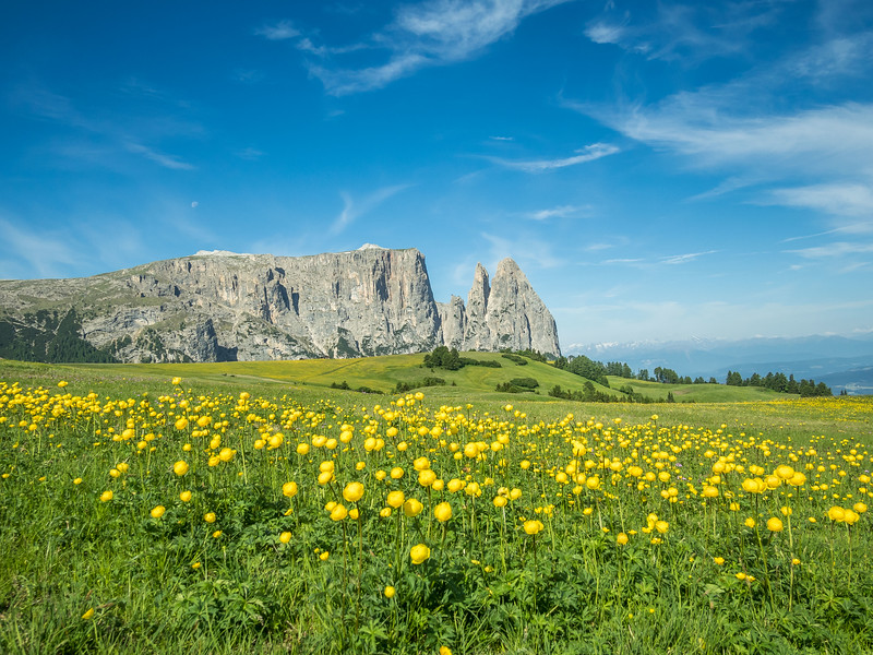 Yellow Wildflowers and the Schlern, South Tyrol, Italy
