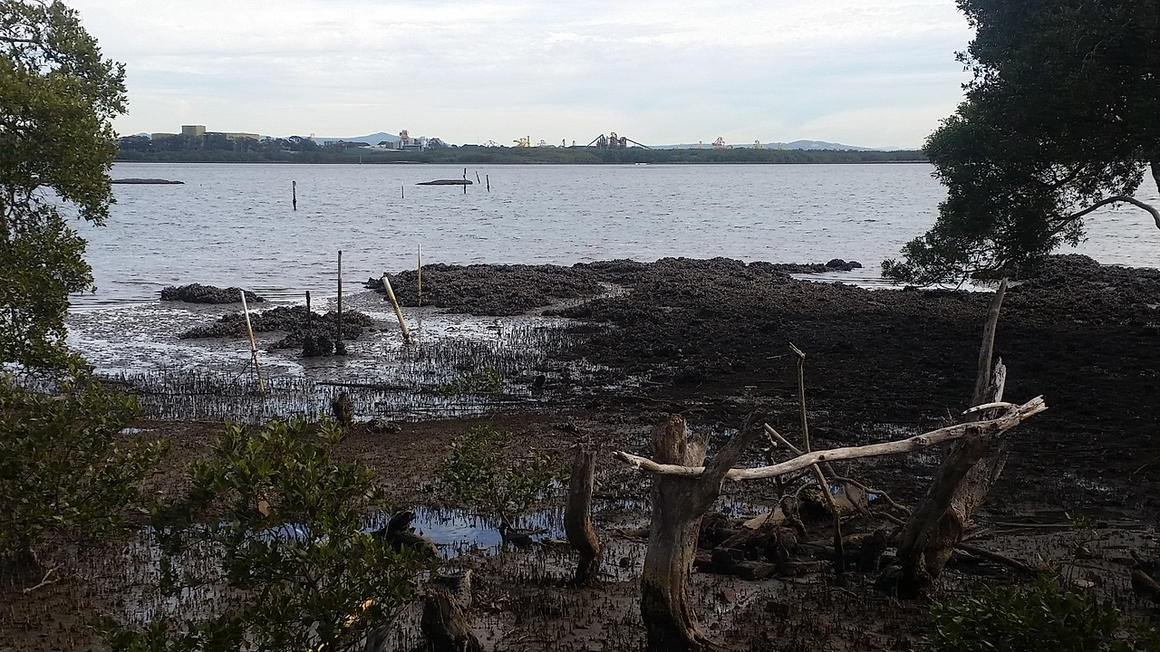 Oyster Reef and Mangrove