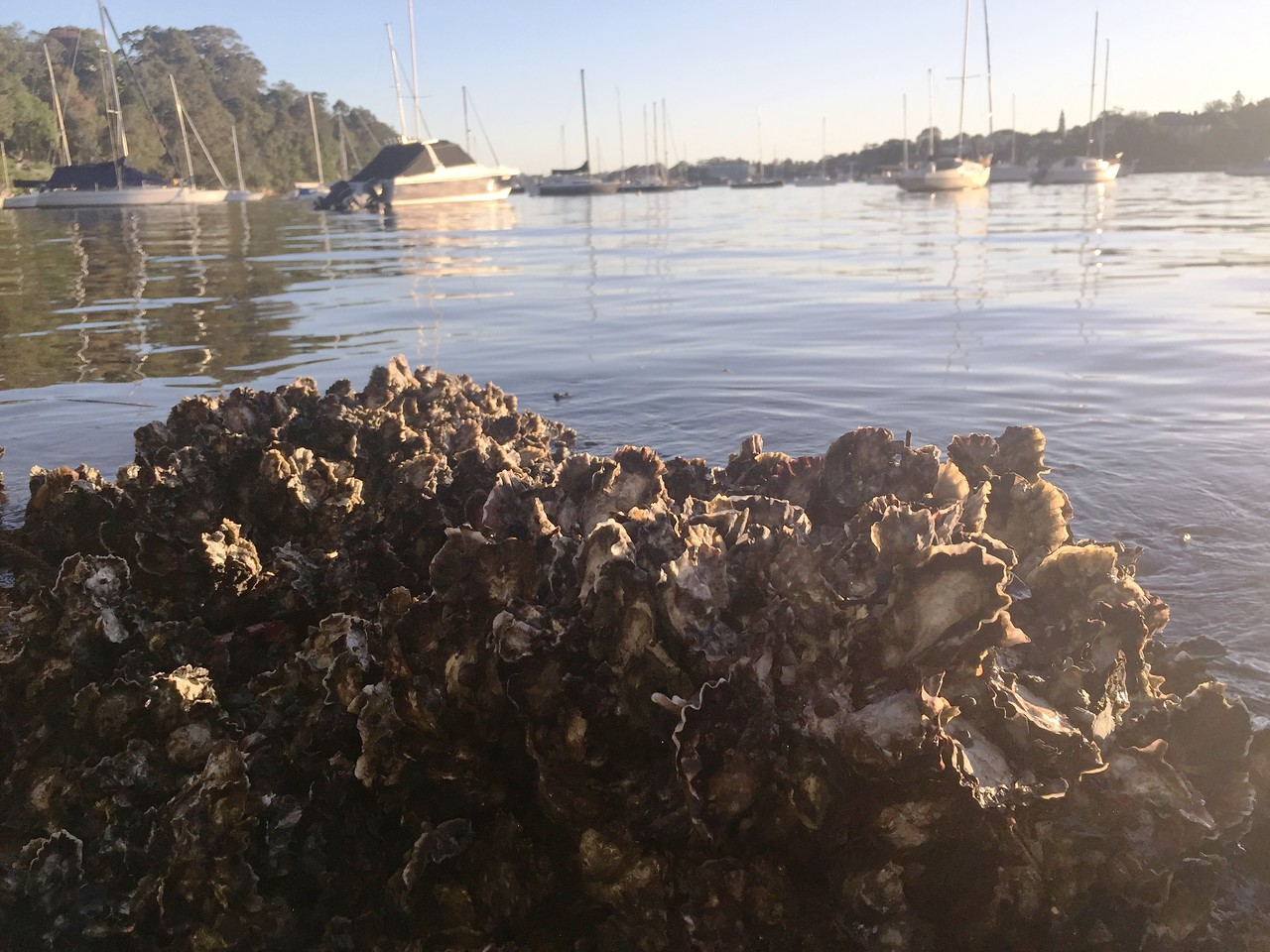 Saccostrea glomerata / Sydney rock oyster reef in Sydney Harbour (Greenwich). Photo acknowledgement: Andy Myers