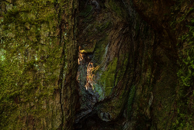 Barkscape: Lord Hill Wonder Tree | Lord Hill Park, Monroe Washington