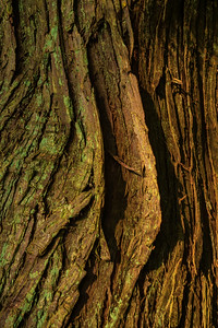 Barkscape: Lord Hill Cedar   Lord Hill Park, Monroe Washington