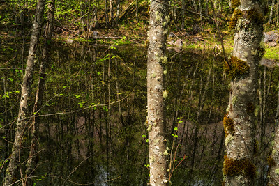 Forest Portrait: Alder Grove in the Hummocks| Mt. St. Helens National Volcanic Monument