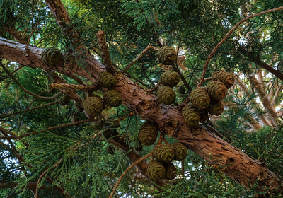 Forest Portrait: Giant Sequoia Cones | Mt. Palomar