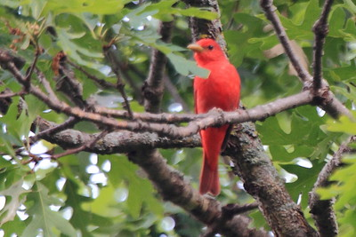 Very grainy shot of a Summer Tanager