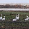Snow Geese- Bowdoin NWR- Malta, MT