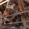 Marsh Wren- Bowdoin NWR- Malta, MT