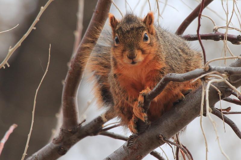 Eastern Fox Squirrel- Somewhere in Montana