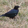 Common Grackle- Charles M Russell NWR