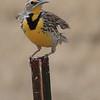 Western Meadowlark- Charles M Russell NWR