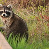 Northern Raccoon- Necedah NWR