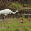 Whooping Crane- Necedah NWR