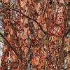 Paper Birch- Necedah NWR